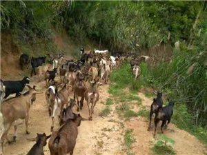 本地黃山羊出售,純天然放養,數量不多歡迎前來購買