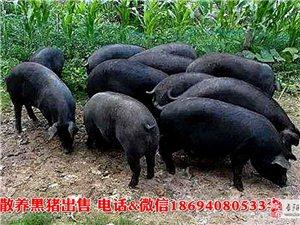 现有农村散养黑猪、香猪出售