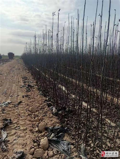 碭山縣(秋月、蘇翠一號)梨品種苗木推廣中心