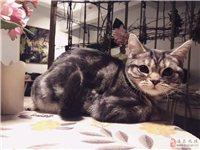 美国短毛猫找新家长,自家繁育,可上门看猫~