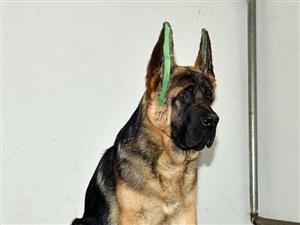锤系德牧犬北京市三个月德牧幼犬出售