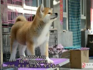 赛级秋田犬出售三个月纯种秋田幼犬出售