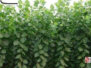 杨树苗厂家直销 107杨树苗 107速生种条苗
