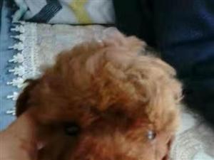 自家生的泰迪狗宝宝