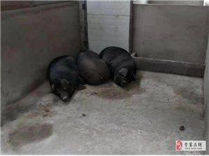 熟食黑猫猪肉