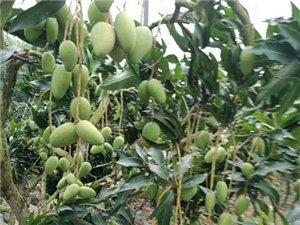 三亚果园台农芒果出售