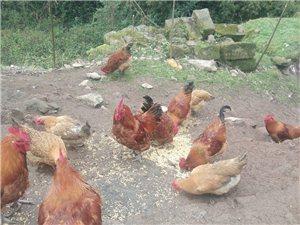 自家散养土鸡
