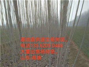 山东高唐基地直供速生杨树苗,大量销售速生杨树苗