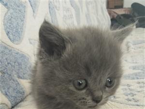 蓝猫妹妹40天