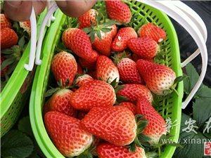 磁澗鎮尤章村草莓上市