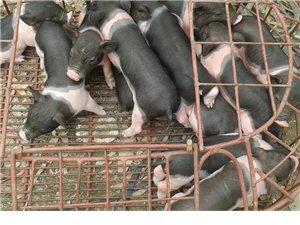 陸川豬仔、香豬大量供應