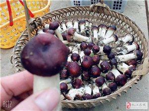 灰山港镇克上冲村产业扶贫赤松茸蘑菇基地产地直销
