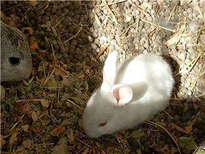 自家养的兔子出售
