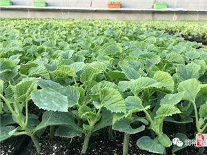 供应甜瓜嫁接苗、西红柿种苗、哈密瓜种苗