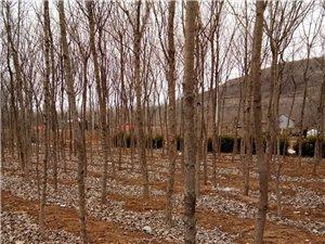 处理绿化苗木——樱花、油根子、黄杨 、大核桃树、国槐