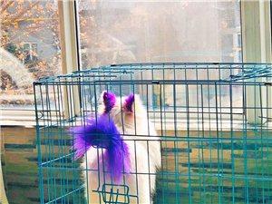 出售:博美犬 1歲 公狗