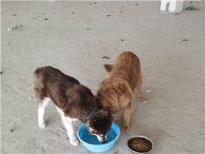 纯种金毛犬宠物狗出售
