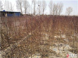金塔县有大量杏树苗、桃树苗出售!