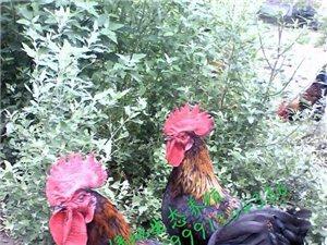 本家长期出售放养土鸡、芦花鸡、放养鸡蛋、芦花鸡蛋