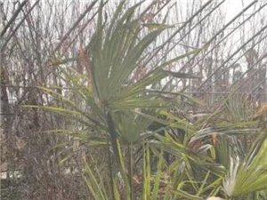 量出售:本地雪松、黑松、高杆女贞、各种竹子、棕榈树