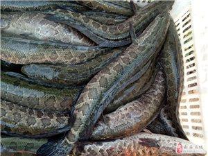 大个生态黑鱼,新蔡瑞祥水产为您**