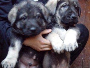 美高梅国际买昆明犬请进云南狗场专业繁殖出售精品昆明犬