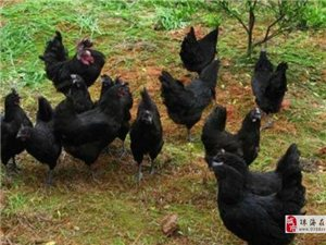 長期供應山林走地雞