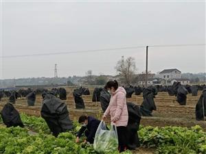 金盘山蔬果送新鲜蔬菜支持董市镇抗击新型肺炎疫情