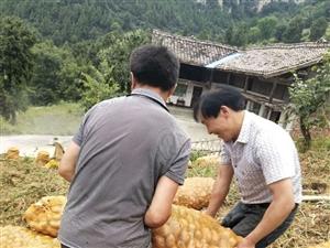 高山�天然青薯9�土豆喜�@大�S收