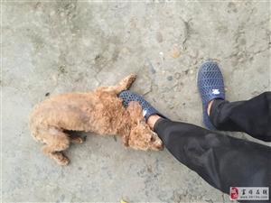 �斓揭恢蛔厣�泰迪公狗