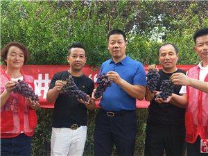 户县葡萄采摘季开始了