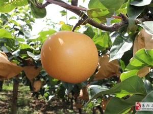 莱阳不光有慈利,还有这个梨!梨子熟了,你准备好了吗