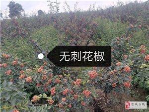 出售韩城花椒苗(大红袍,狮子头,黄盖,无刺)