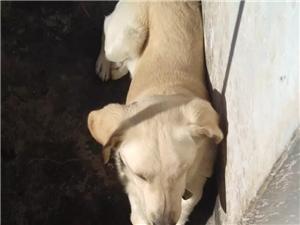 出售拉布拉多犬(不�)