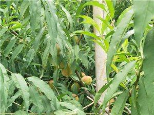 自家种的鹰嘴桃成熟了,有需要的朋友请联系