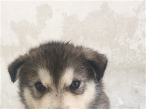 出售自家刚满月哈士奇,灰色阴阳眼,黑色三把火蓝眼睛都有,价格美丽请联系15637668333微信同号