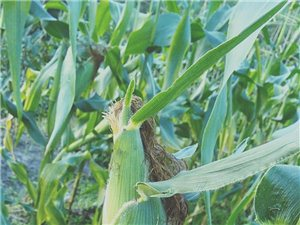 谁有收购玉米新鲜