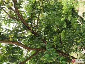 小�翁O果桃,�骨脆李成熟了。