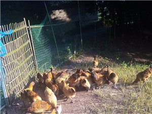 我有一些土鸡出售,价格实惠,产品正宗,有需要的朋友联系我,电话19961158726.地址牟家镇向兴