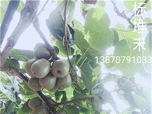 中华红心红阳猕猴桃熟了,有需要请联系