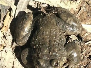凉山彝族自治州会东县,石蛙专卖,有需要的朋有们。请加本人的微信:m18181205093
