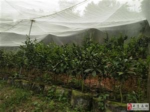 有300颗日南特早苗,2年苗,因没租到山种