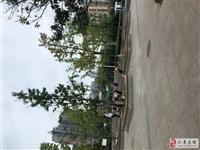 不文明行为!仁寿京川烤鸭广场,有人在打银杏果,树叶打落了一地