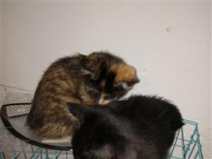 家有两只出生一个多月的小奶猫(中华田园猫),有喜欢猫爱猫想养猫咪的爱心朋友吗,免费送养,联系电话17