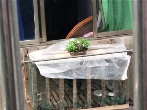 容山商业街某住户在家里养了一只公鸡,天天早上四五点开始叫,去跟当事人反应,被怼是我管的宽,我家里喂鸡