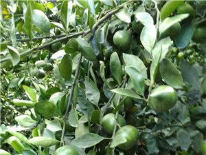 龙归村有普早蜜桔三万斤,果皮靓,果子均匀