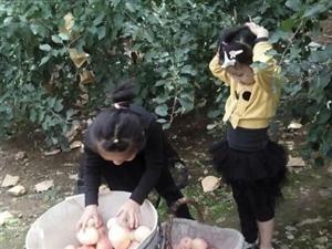 锦信果园,红富士苹果一件代发