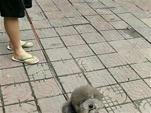 爱心接力!朋友的狗狗灰灰掉了!