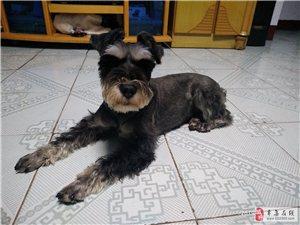 15075540122我在昨晚于信誉楼附近的针织小区丢失一只狗,中小型雪纳瑞品种,望看到的好心人联系