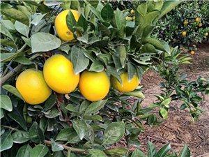 求购脐橙,要求吉潭周边,帮忙推荐一下
